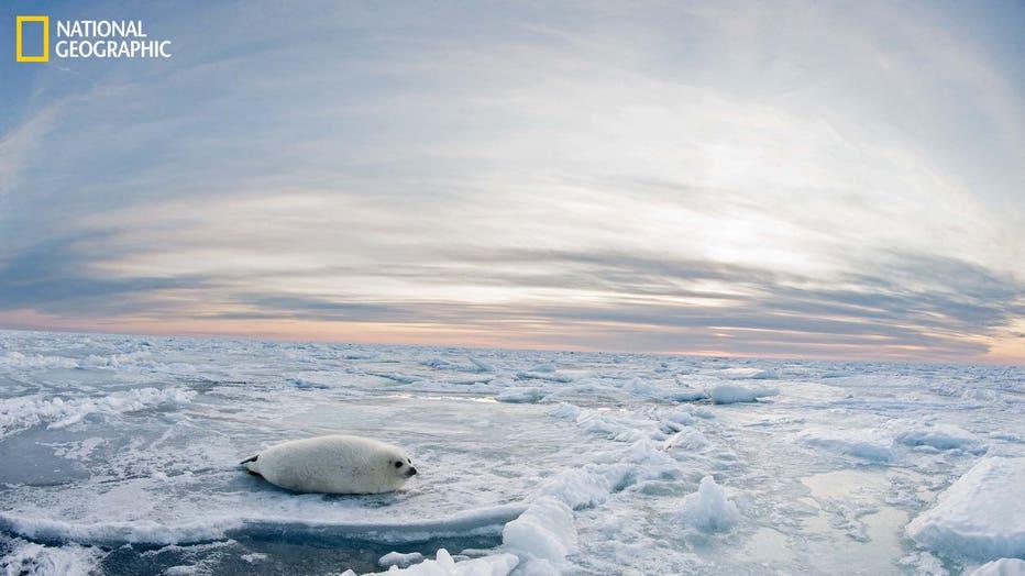 MAGDALENISLANDS-Harp-Seal-March-2012-Jennifer-Hayes-04517-16x9.jpg