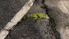 Cold-stunned iguanas are actually falling from South Florida trees