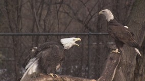 Over 100 bald eagles have picked the Monroe DTE power plant as their home