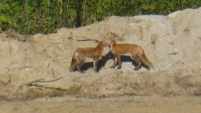Macomb pipeline workers treated these adorable red foxes for mange while on the job