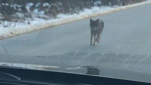 Father chokes coyote to death after it attacks young child in New Hampshire