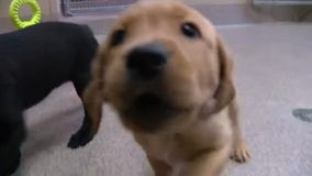 Leader Dogs for the Blind looking for volunteers to raise puppies