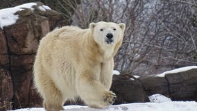 Meet Detroit Zoo's new polar bear on International Polar Bear Day