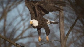 Stony Creek volunteers worried about injured bald eagle ousted from her nest could be in danger