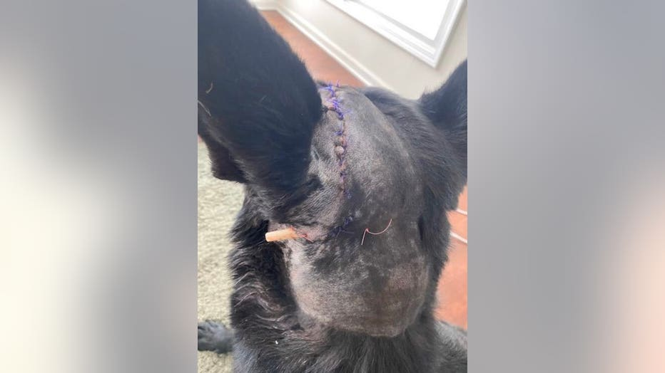 Police dog with stitches