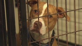 Spend your quarantine on the couch with a foster dog from Detroit Dog Rescue