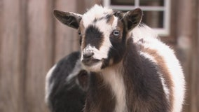 Oxford family offering their farm goats to crash your next Zoom meeting