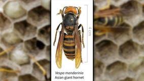 Japanese honeybees learned how to 'cook' murder hornet: report
