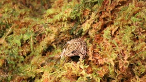 Detroit Zoo releases 170 critically endangered dusky gopher frogs into wild