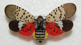 Michigan's latest invasive species to be worried about is the spotted lanternfly