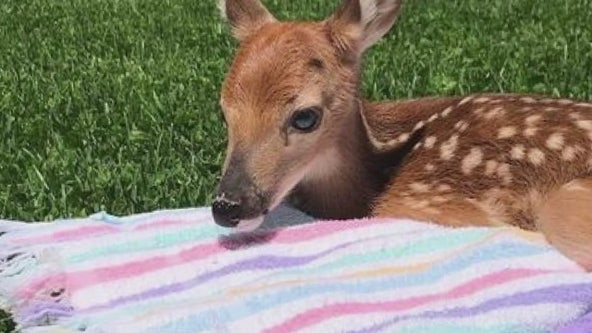 Trenton man saves newborn deer after doe dies along I-75