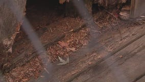 Groundhogs taking over unoccupied home in Rosedale Park, neighbor says