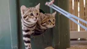 'World's deadliest cats' get first taste of meat at San Diego Zoo