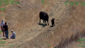 Injured seniors rescued by helicopter after being chased by a cow and its calf