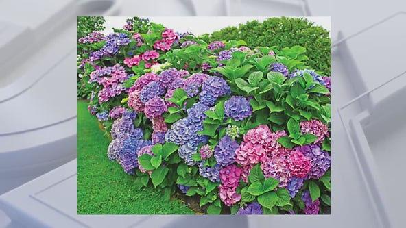Caring for your hardy hydrangea, tips from Twigs & Branches owner, Kevin Miller