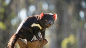 Tasmanian devils return to Australia for 1st time in 3,000 years, with help from Chris Hemsworth