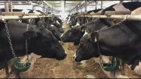 New study shows how sick cows can be contributing to climate change