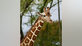 Detroit zoo welcomes 2-year-old Zara, a new giraffe from Illinois
