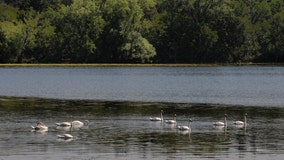 Michigan DNR investigating deaths of threatened swans found shot in Macomb County state park