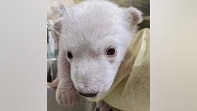 Two Polar Bear Cubs Born at theDetroitZoo