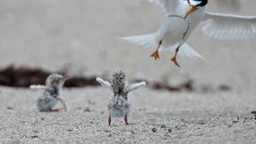 After facing extinction, Midwestern least tern flies off endangered species list