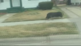 'Go get your pig': Pig caught on camera running down Detroit street
