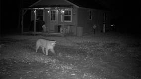The Michigan DNR has verified 65 reports of cougars in the state