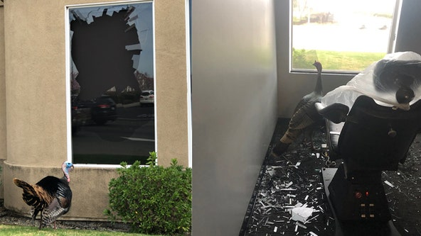 Turkey storms into and destroys dentist's office