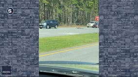 Driver narrowly avoids running over gator crossing South Carolina highway
