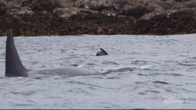 Secrets of the Whales Introduces audiences to the latest nature docu-series exploring wildlife