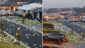 Australian suburb invaded by massive flock of cockatoos