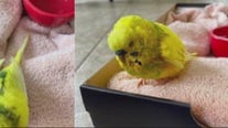 Shelby Twp teen finds lost injured pet parakeet and is looking for owner