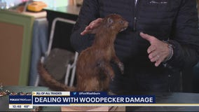Homeowner DIY Tips to Scare Away Woodpeckers