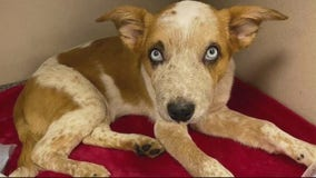 Macomb County gives plea deal to woman who severely  abused puppy citing mental illness