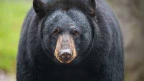 Black bear euthanized after hit-and-run crash in northern Michigan