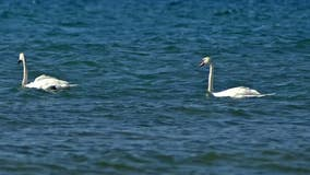 DNR rules out poison for numerous swan deaths in Waterford Township