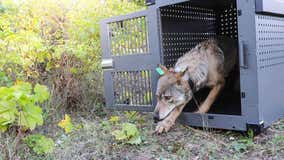 115 scientists argue for renewed gray wolves protections in Michigan, around U.S.
