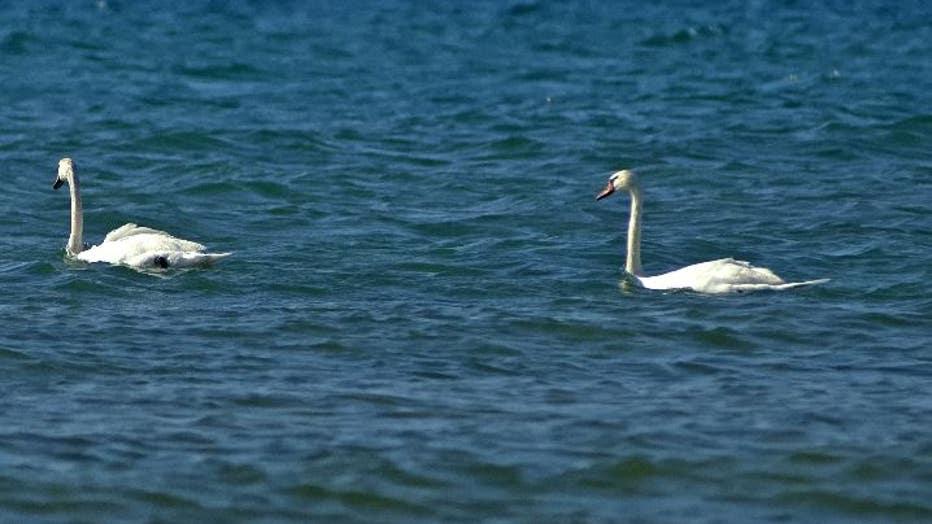 A pair of mute swans is shown on Lake Michigan at Leelanau State Park in Leelanau County.
