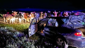 Barron County pursuit: Cow blockade ends in arrest of driver