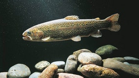 Scientists trace genetic makeup of lake trout in hopes of of restoring populations in Great Lakes