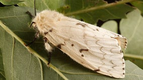 Group asks public to help change offensive name of moth