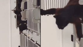 Cat breaks out of 'escape-proof' cage at Texas animal shelter