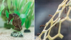 Male seahorse gives birth to hundreds of babies at Clearwater aquarium