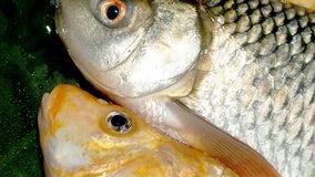 State investigating common carp deaths in Michigan lake
