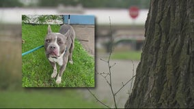 Detroit rescues say animal control has been asking residents to watch stray dogs