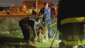 108-pound dog rescued after falling into manhole in Detroit