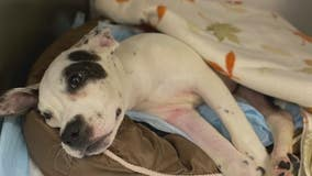 Abused puppy found on side of road with broken back in Taylor