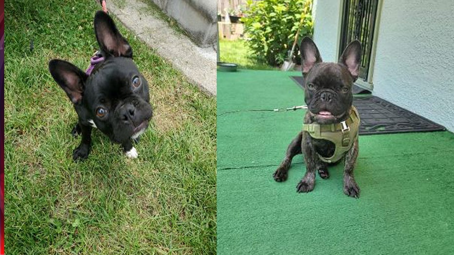 French bulldogs Bruno and Bella were stolen out of Detroit yard on Gardendale Wednesday.
