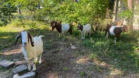 Southfield police recover goats rented for mowing lawn