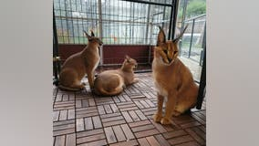 Are caracals legal in Michigan? An exotic African cat's escape in Royal Oak raises the question